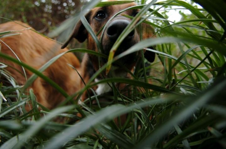 Ella Mae peeking through the monkey grass